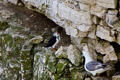 Puffin (Fratercula arctica) (BiteYourBum.Com Photography) Tags: uk england nature unitedkingdom yorkshire reserve cliffs puffin canonef1740mmf4lusm bridlington eastyorkshire wildlifetrust ipad flamborough fraterculaarctica yorkshirewildlifetrust canonefs60mmf28macrousm biteyourbum canoneos7d appleipad dawnandjim canonspeedlite430exii sigma50500mmf4563dgoshsm loweproprorunner350aw biteyourbumcom camranger flamboroughcliffsnaturereserve