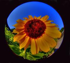 Sunflower (Phyllis74) Tags: park flower lensbaby kentucky sunflower louisville beckleycreekpark