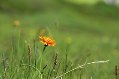 Crepis aurea (siebensprung) Tags: wild france alps flower nature natur meadow wiese alpen blume wildflower blte alpin wildblume goldpippau crepisaurea goldenhawksbeard