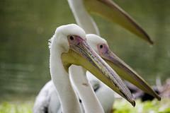 Pelicans St James's Park (Tabitha Beresford-Webb) Tags: park bird london pelicans nature birds st wings pond royal pelican jamess parklife londonhorseguardsparadestjamesparkandsaatchi