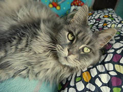 Breeze after nap,. 11 Jul 14 (Castaway in Scotland) Tags: blue pet cute animal cat silver grey scotland tabby gray maine adorable kitty east coon lothian musselburgh