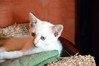 Ciokotoff (honeycri) Tags: pet cat catwomen nikon chat kitty gato gatto chaton gattino nikond3200 cc100 kissablekat gattobianco honeycri ciokotoff