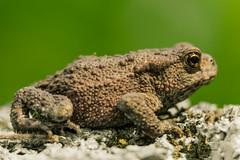 toad look (Geert Weggen) Tags: nature water animal animals hand toads toad amphibians geert kikker waterlife amphibia bufonidae padden paddor amfibieën weggen ilobsterit hardeko