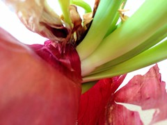 Onion (efairhurst) Tags: red green texture skin layer onion sprout efairhurst