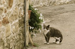 Cat & Flowers (Andrew Acey) Tags: street old white black flower brick wall sepia cat nikon stones kitty piemonte times cuneo bergolo d5100