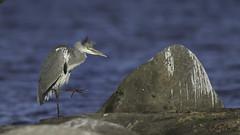 Grey Heron (Halvor Roe) Tags: fugler gråhegre landutenomnorge mariestad storkefugler sverige vänern