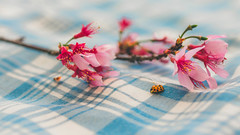Francis' Adventure (Nate Conn) Tags: lady bug ladybug blue white pink orange flowers tablecloth picnic insect macro closeup cherry blossom