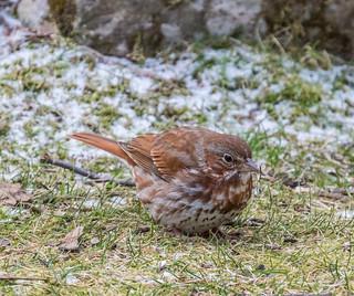 Fox Sparrow  1Z9A5515