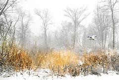 Angelica (floralgal) Tags: snow marshlandsconservancy ryenewyork winterinryenewyork snowbird nature woodlands wetlands mashlandsconservancyryenewyork winter