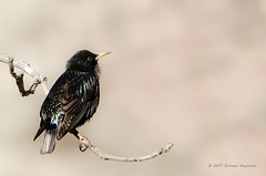 Common Starling (Esmaeel Bagherian) Tags: commonstarling starling bird birds birdsphotography birdsofiran birdwatching birdwatcher esmaeelbagherian 2017 1395 nikon nikond7000 tamron tamron150600 پرندگان پرندگانایران پرندهنگری پرنده سار سارمعمولی اسماعیلباقریان نیکون تامرون