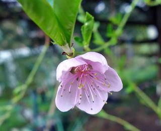 in meinem Garten - Pfirsichblüte