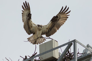 Nesting Time ... the Osprey are Back