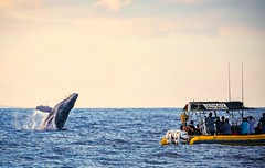 Playful Moments (Prab Bhatia Photography) Tags: maui hawaii whalewatching whale humpback breach whalebreach ultimatewhalewatch lahaina