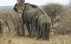 Form An Orderly Queue, Please (philnewton928) Tags: africanelephants elephants elephantbull loxodontaafricana mammal animal animalplanet wild wildlife nature natural satara kruger krugernationalpark africa southafrica outdoor outdoors safari nikon nikond7200 d7200