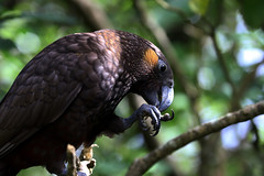 Zealandia ~ Kaka (whitebear100) Tags: kaka zealandia wellington nz newzealand northisland 2017