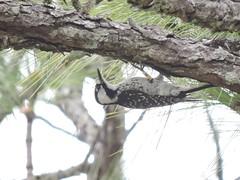 Red-cockaded Woodpecker (Connor Langan) Tags: redcockadedwoodpecker withlacoocheestateforest hernandocounty florida bird threatenedspecies
