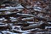 Brash (mike1727) Tags: jerseyfarmwoodlandpark dogwalk coppice offcuts img4971 brash