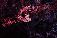 Chidori-ga-fuchi (Yakinik) Tags: 富士フイルム fujifilm gfx 50s japan 日本 tokyo 東京 yakinik gf 63mm f28 r wr 桜 sakura