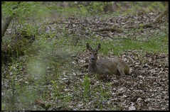 _DSK5004-01-04-2017 - capriolo (r.zap) Tags: capreoluscapreolus capriolo rzap parcodelticino