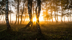 lost in a forest (Marc.van.Veen) Tags: birch tree marcvanveen magical mystic forest ground groundcover covered groundcovered lowsun lowpov woods birchforest