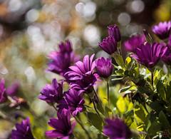 ILCE-6000-05663-20170408-1404-Pano // Carl Zeiss Jena Tessar 50mm 1:2.8 (Otattemita) Tags: 50mmf28 carlzeissjena carlzeissjenatessar50mmf28 florafauna fauna flora flower nature plant wildlife carlzeissjenatessar50mm128 sony sonyilce6000 ilce6000 50mm cnaturalbnatural ota
