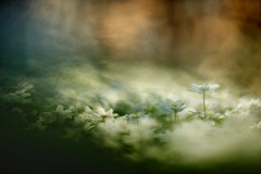 Springtime (Trivial Dependence) Tags: spring forest flowers nature sunset denmark hareskoven nikon d810 carlzeiss 135mmf2 apo sonnar zeiss f2 aposonnart2135 zf2 pierrestachurska