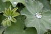 Alchemilla mollis 'Auslesse' (MGormanPhotography) Tags: alchemilla mollis auslesse rosaceae perennial ladysmantle green foliage mg00206