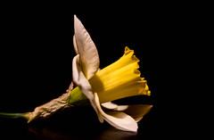 Narcissus (Kerstin Winters Photography) Tags: cmwdyellow nikon nikkor photography fotografie detail d5500 natur nature naturfotografie nahaufnahme gelb yellow macro closeup nikondigital nikondsl flora outdoor daffodils narzisse narcissus blumen flower flickrnature flickr
