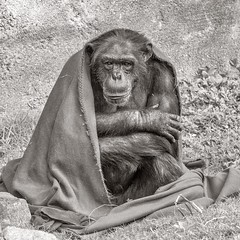 """I don't care if you like my blanket or not"" (Oliver Leveritt) Tags: nikond7100 sigma50500mmf4563apodgoshsm oliverleverittphotography sigmabigmaos bigmaos sigmabigma bigma flash speedlite speedlight sb800 houstonzoo zoo animal chimpanzee blanket monochrome blackandwhite sepia platinum"