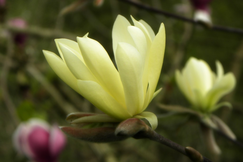 The World S Best Photos Of Magnolia And Plante Flickr Hive Mind