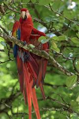 Guacamaya Roja - Ara macao (Jorge De Silva R) Tags: reserva de la biosfera montes azules nature wildlife chiapasmexico legado verde ara macao guacamaya roja