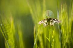 Halo (Benji Pictures) Tags: papillon butterfly diane naturallight wildlife wildlifephotography macro macrophotography photoshoot halo auréole