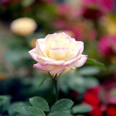 Rose (mitsumine_884) Tags: rollei rolleiflex rolleiflex35fplanar kodak ektar100
