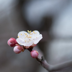 IMG_2564crs (kenta_sawada6469) Tags: flower flowers spring nature macro colors japan ume japaneseapricot japanese