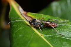 Ichneumon wasp on the hunt. Cryptinae (Lord V) Tags: macro bug insect wasp ichneumon cryptinae