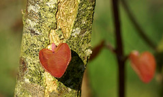 "Mom's ""Heart tree"" (Jaedde & Sis) Tags: hjertetræ cercidiphyllumjaponicum katsura heart tree spring dof challengefactorywinner thechallengefactory coth 15challengeswinner perpetualwinner matchpointwinner mpt647"