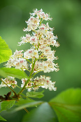 Chestnut tree (CAHKT) Tags: awakening blossoming castaneaclose cultivar sprout backdrop background beautiful blooming blossom bright bud chestnut closeup colorful exotic flora flower flowers fresh green herbs inflorescence landscape large leaves natural nature nobody outdoor outdoors pink plant rare red sky spring tree white wild young
