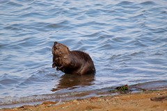 Coming Ashore (Piedmont Fossil) Tags: sandypoint state park maryland chesapeake bay beaver mammal wildlife