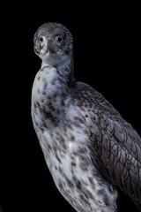 Juvenile pied shag (apteryxo) Tags: zealandia piedshag juvenile