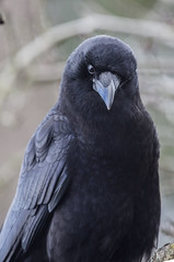 Seattle Crow_395 (Zero State Reflex) Tags: crow seattle crovid birds canon photoraphy