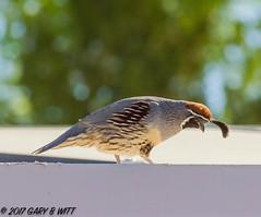 "Gambel""s Quail (orencobirder) Tags: birds quail flickrexport largebirds"