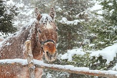 Snowy Horse (Karen_Chappell) Tags: horse animal mammal nature snow snowy snowing weather spring winter nfld newfoundland canada atlanticcanada avalonpeninsula fence farm stjohns obriensfarm green trees evergreen brown white
