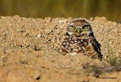 JUST BECAUSE (Aspenbreeze) Tags: burrowingowl owl groundowl owleyes coloradowildlife nature birds wildbirds bevzuerlein aspenbreeze moonandbackphotography