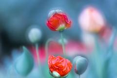 Plopp........... (SonjaS.) Tags: inselmainau mohn mohnblumen blumen flowers spring frühling bunt bokeh