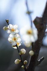 IMG_0642crs (kenta_sawada6469) Tags: flower flowers spring tree trees nature macro japan japanese japaneseapricot ume white