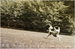 Chicca, the flying dog (verenaredfoxgredler) Tags: portrait porträt verena gredler redfox redfoxdreamartphotography photographer fotografin model fotomodel modell photomodel innsbruck tirol austria österreich fun spas running run laufen rennen dog hund haustier pet animal tier chinesecrested nackthund chinesisch mischling mops pug chihuahua nature natur wiese grass littledoglaughedstories
