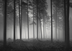 In the Pines (Vesa Pihanurmi) Tags: pines trees trunks woods siuntio finland blackandwhite monochrome forest nature foggy mist