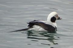 Long-tailed Duck (m) (smkeereweer) Tags: novascotia canada lunenburg longtailedduck clangulahyemalis