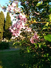 2017-04-14 18.56.50 (maria.themeli) Tags: easter cypress flowers lilac wish spring