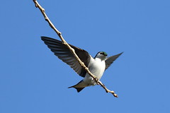 Soft Landing (brian.bemmels) Tags: tachycineta richmond bc canada thalassina tachycinetathalassina violetgreenswallow violetgreen swallow